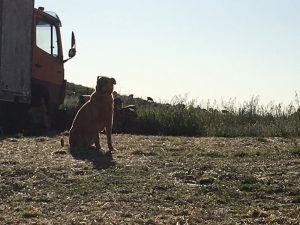 Hond Breeze